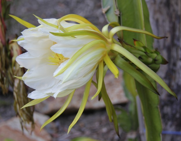 dragon fruit flower